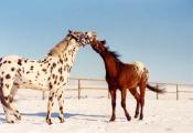 Dva koně